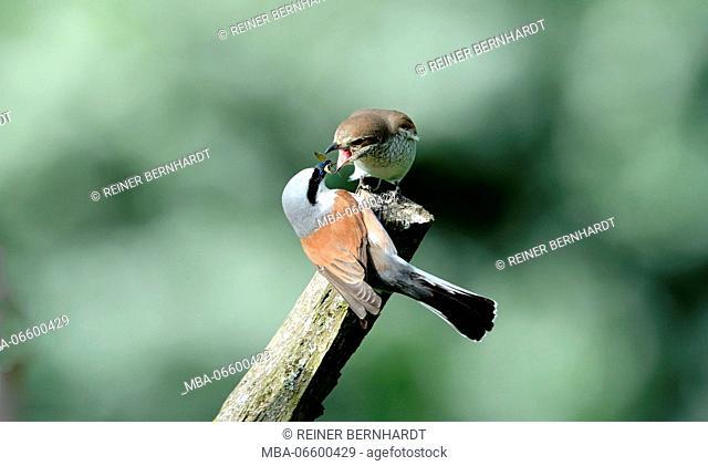 Branch, birds, red-backed shrike, jealousy about food