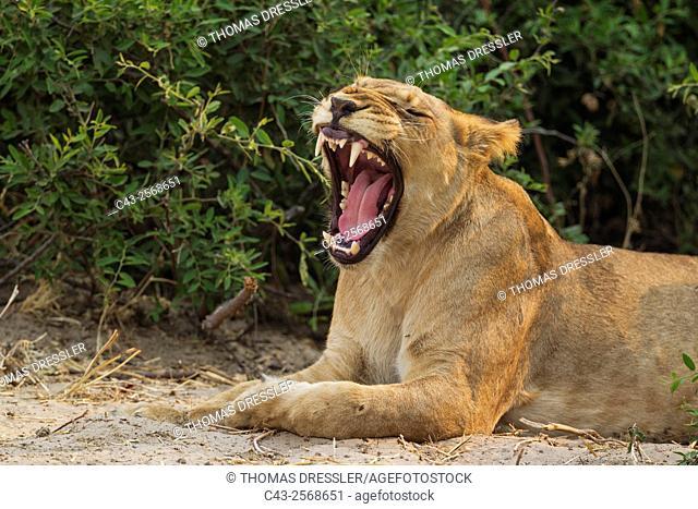 Lion (Panthera leo) - Yawning female. Chobe National Park, Botswana