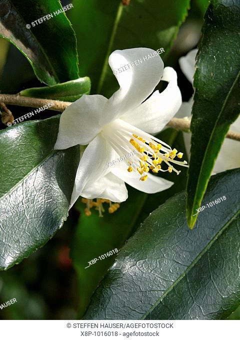Camellia Camellia tsaii