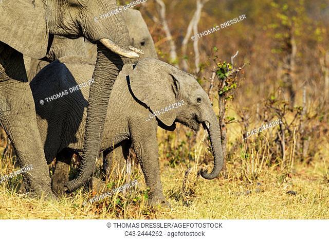 African Elephant (Loxodonta africana) - Cow with calf moving towards the waters of the Savuti marsh. Chobe National Park, Botswana