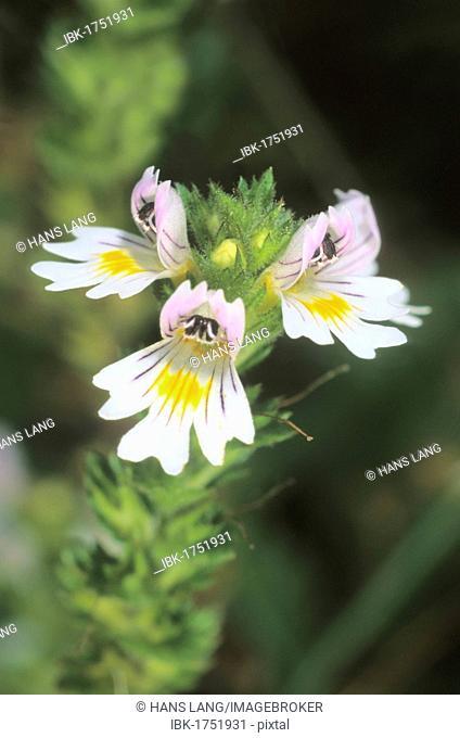 Red eyebright or figwort (Euphrasia officinalis)