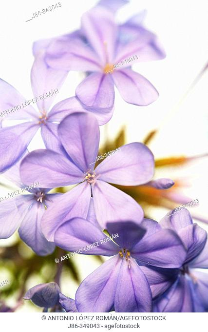 Skyflower (Plumbago auriculata)