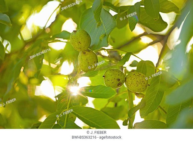 walnut (Juglans regia), branch with fruits, Germany, Rhineland-Palatinate
