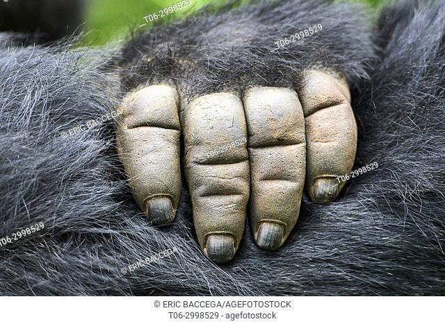 Close up on hand of Moutain gorilla (Gorilla beringei beringei) Virunga National Park, North Kivu, Democratic Republic of Congo, Africa