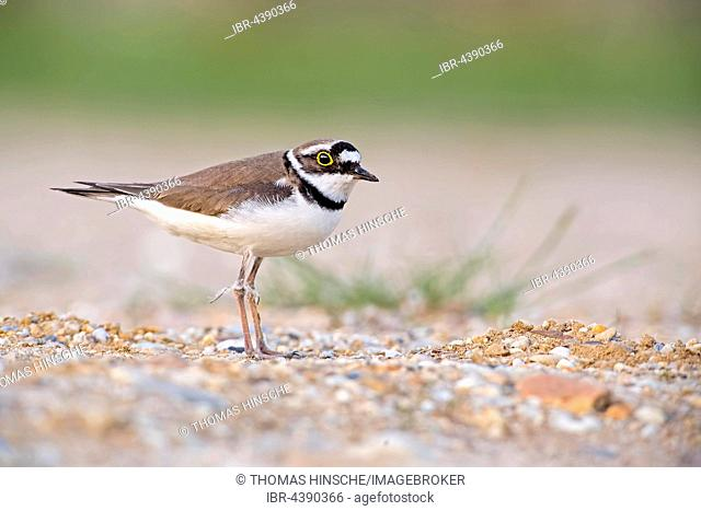 Little ringed plover (Charadrius dubius), Middle Elbe Biosphere Reserve, Saxony-Anhalt, Germany