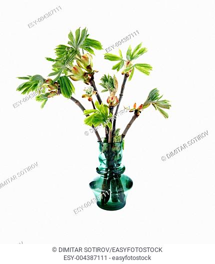 Young branch of horse chestnut tree in vase, isolated on white
