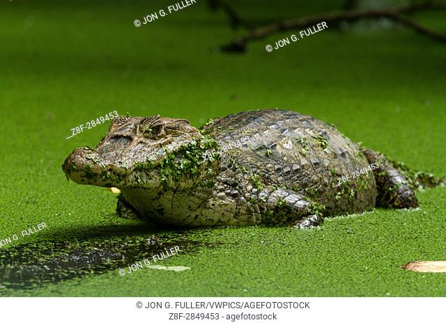 Spectacled Caiman, Caiman crocodilus, patiently waits for unsuspecting prey to get too close. It is found in much of Central and South America, including Mexico
