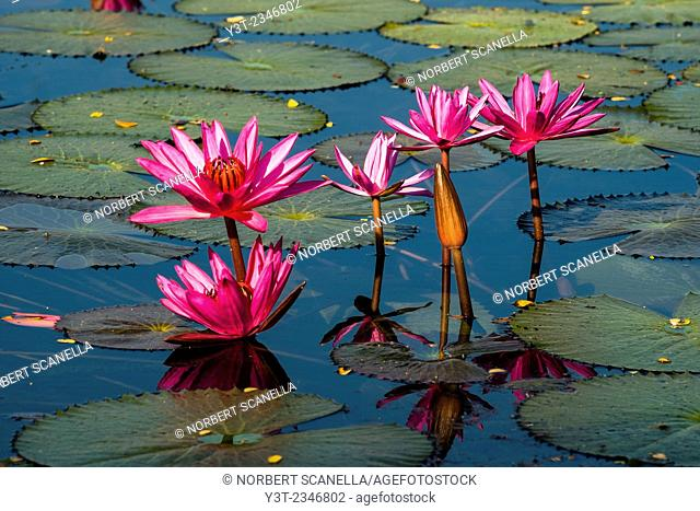 Asia. Thailand, Sukhothai, old capital of Siam, classified as a World UNESCO Heritage. Lotus