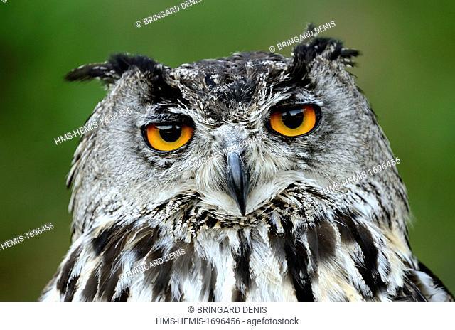 France, Franche Comte, Grand Duke Owl (Bubo bubo), portrait