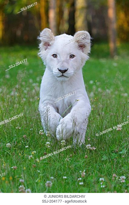 White Lion (Panthera leo). Cub running on a meadow. Stukenbrock Safari Park, Germany