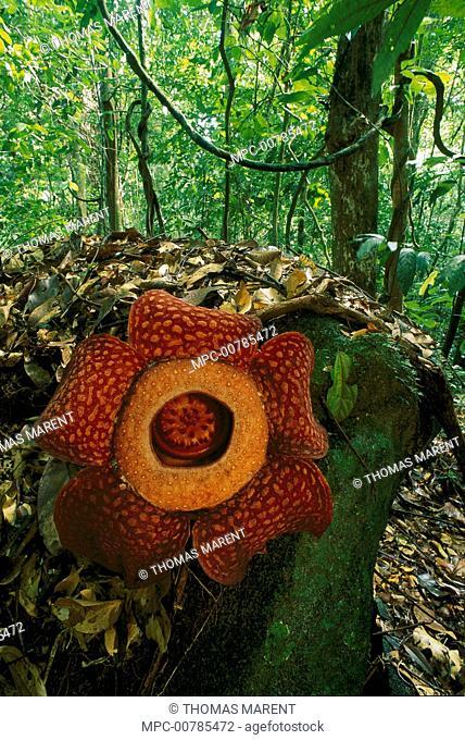 Rafflesia (Rafflesia arnoldii) flower, Gunung Gading National Park, Sarawak, Malaysia