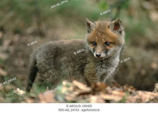 Red Fox cub Lower Saxony Germany Vulpes vulpes