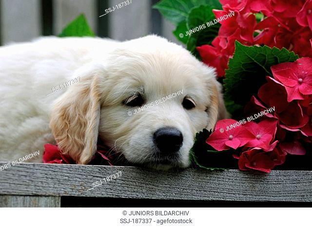 Golden Retriever. Puppy resting on a bench next to flowering Hydrangea. Germany