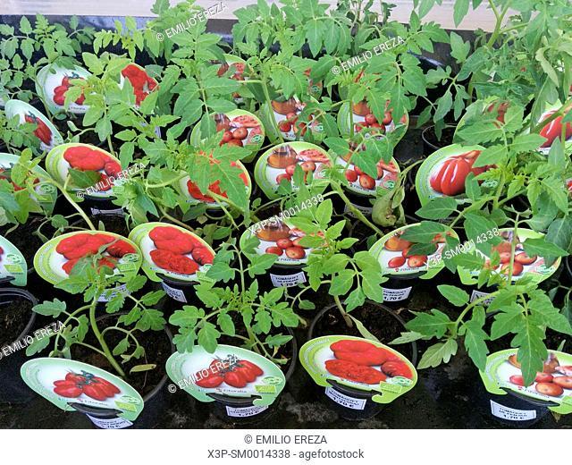 Tomatoes for kitchen garden. Seedlings