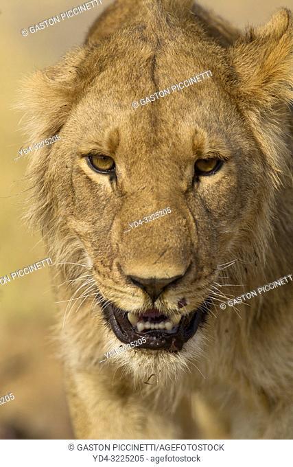 African lion (Panthera leo) - Young male, Savuti, Chobe National Park, Botswana