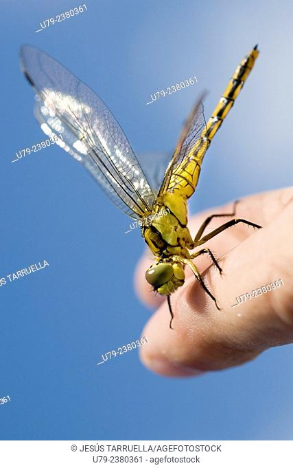 Dragonfly perched on the photographer's hand