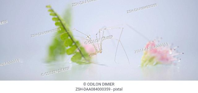 Translucent spider on surface of water