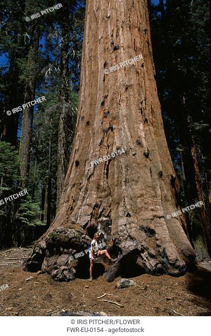 Sequoia sempervirens, Redwood, Brown subject