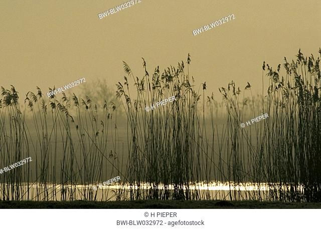 common reed Phragmites australis, at dawn, Germany