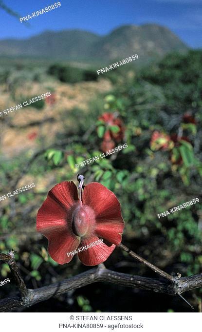 Mopane tree Colophospermum mopane - Shaba National Park, Isiolo, Kenya, Africa