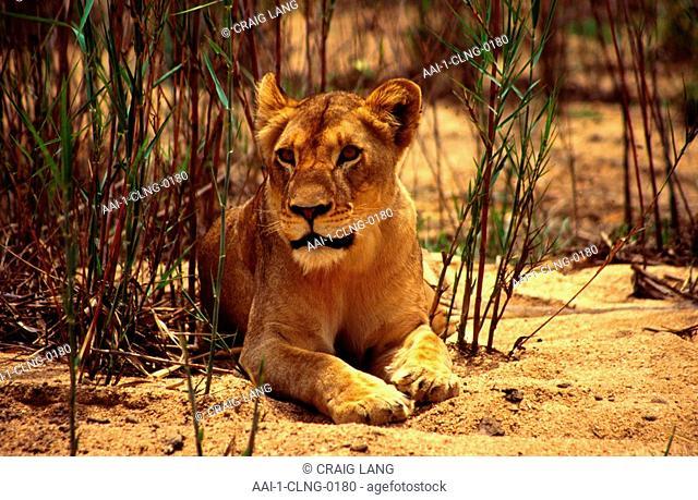 Lioness, Cub, Mala Mala Game Reserve, Mpumalanga, South Africa