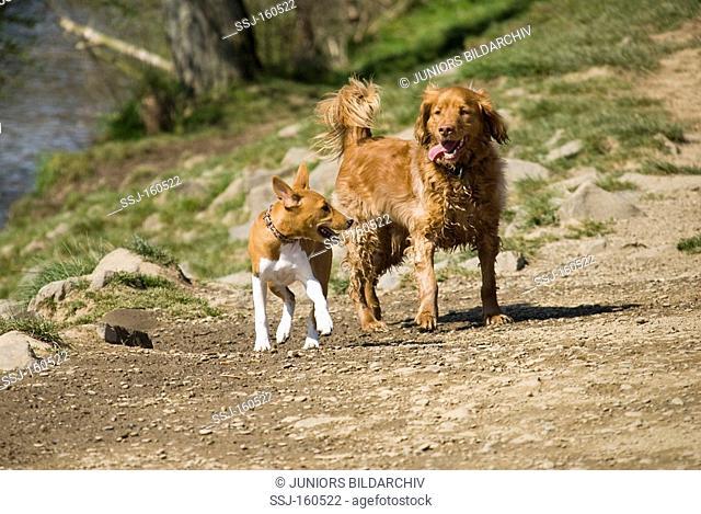half breed dog and a Basenji puppy - walking