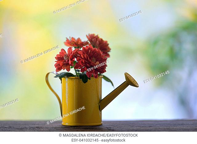 Red chrysanthemums in small watering can