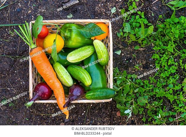 Close up of basket of fresh vegetables on garden soil