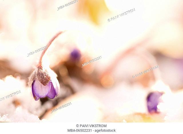 Hepatica (Hepatica nobilis) in a sunny snowy morning