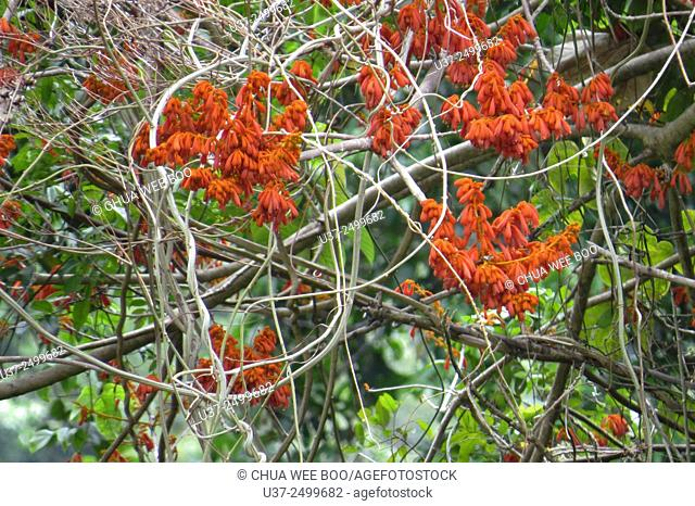 An old tree with blossomed flowers in Borneo Highlands, Sarawak, Malaysia