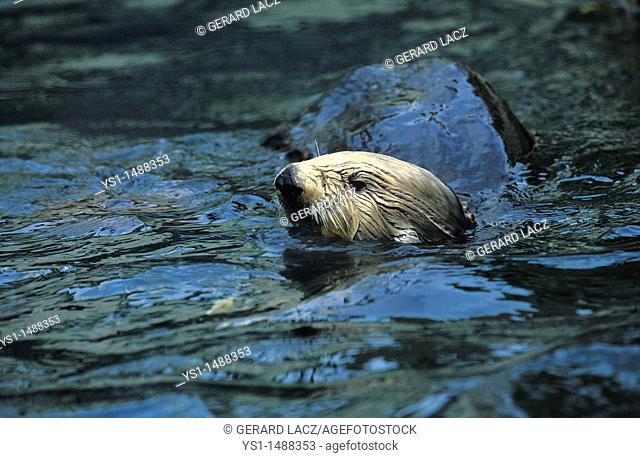 Sea Otter, enhydra lutris, Adult with Head at Surface
