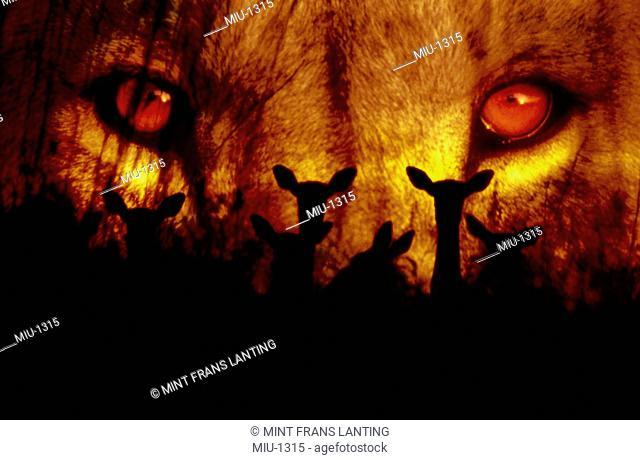 Lion face and impala prey, a composite image, Panthera leo, Botswana