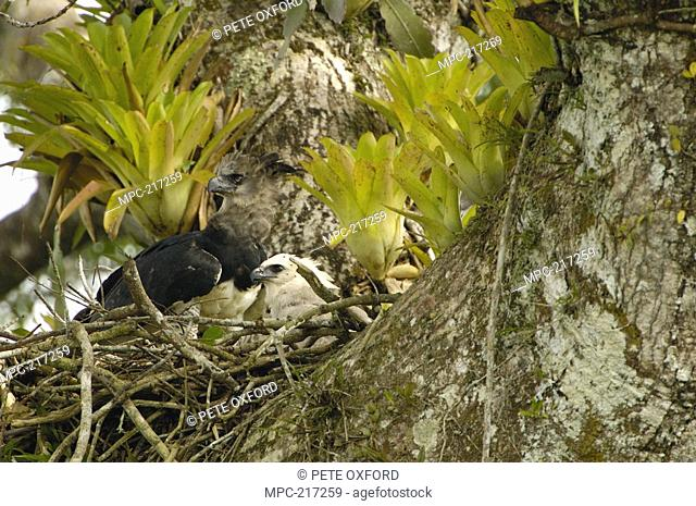 Harpy Eagle Harpia harpyja, mother with five month old chick in nest in Kapok or Ceibo tree Ceiba trichistandra, Aguarico River drainage, Amazon rainforest