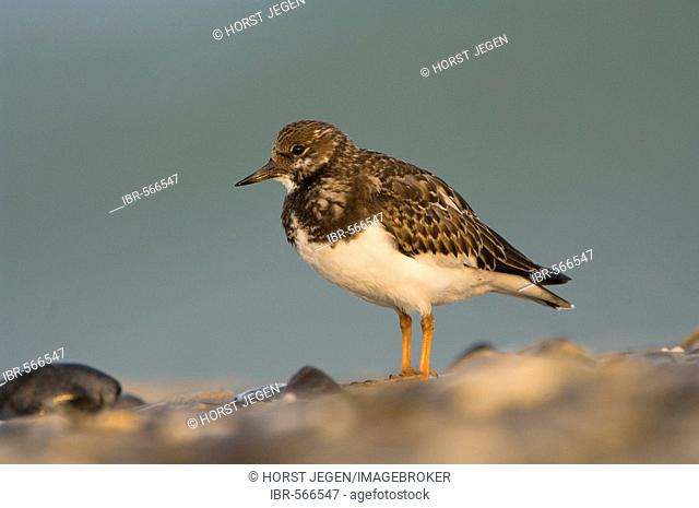 Turnstone (Arenaria interpres)