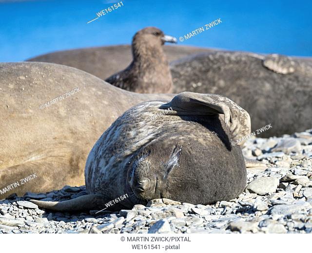 Southern elephant seal (Mirounga leonina), pup on beach. Antarctica, Subantarctica, South Georgia, October
