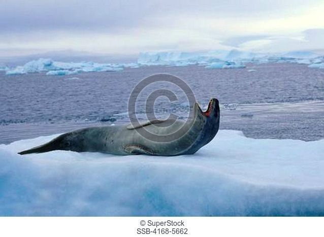 ANTARCTICA, NEAR BROWN BLUFF, LEOPARD SEAL Hydrurga leptonyx ON ICEFLOE, YAWNING