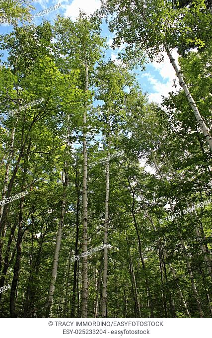 Skyward view under a canopy of birch, maple and pine trees in Ellison Bluff State Natural Area, Ellison Bay, Door County, Wisconsin, USA
