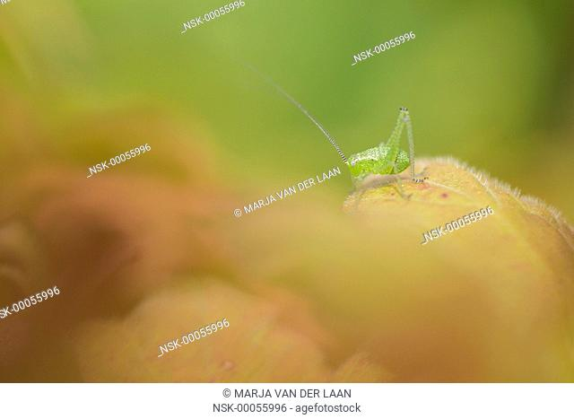 Speckled Bush-cricket (Leptophyes punctatissima) nymph sitting on a leaf, The Netherlands, Groningen
