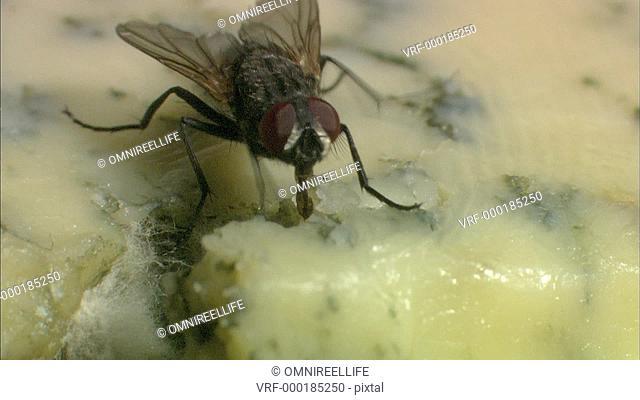 Common Housefly feeding with proboscis