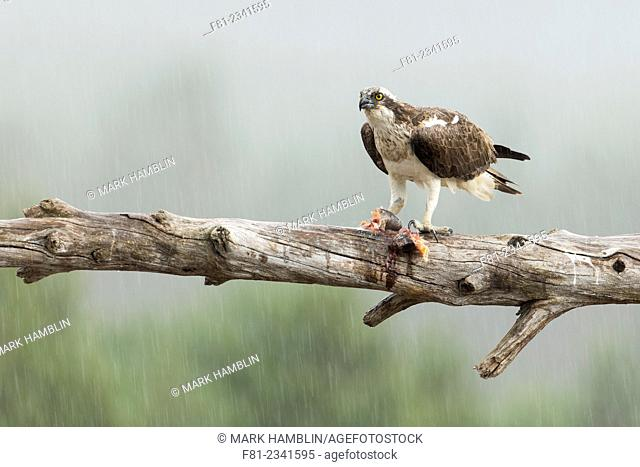 Osprey (Pandion haliaetus) adult male perched with fish in heavy rain