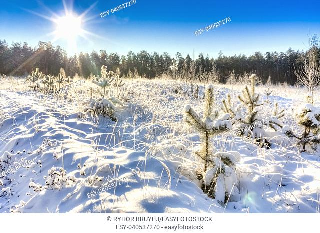 Landscape With Winter Pine Forest And Bright Sunbeams. Sunrise, Sunset In Cold Snowy Forest