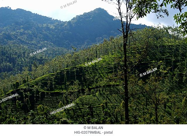 WAYANAD LANDSCAPE WITH PLANTATIONS AND JUNGLE