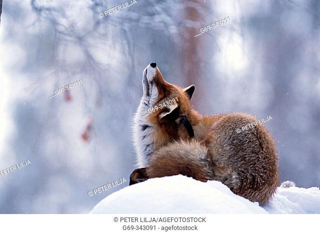 Red Fox (Vulpes vulpes). Lycksele, Västerbotten, Sweden