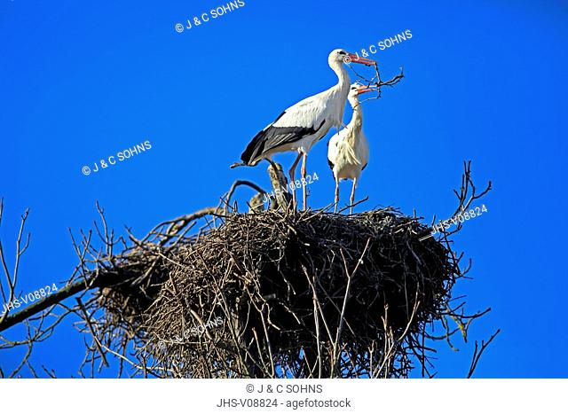 White Stork, (Ciconia ciconia), couple on nest, Mannheim, Germany, Europe