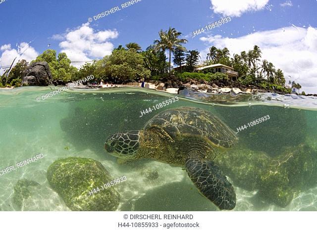 10855933, Green Turtle, Underwater, half-half, Ove