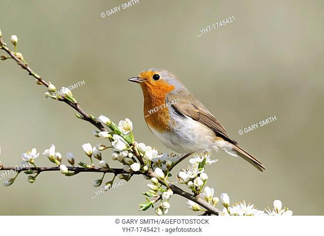 Robin, erithacus rubecula, perched on Blackthorn Blossom, Norfolk,UK, April