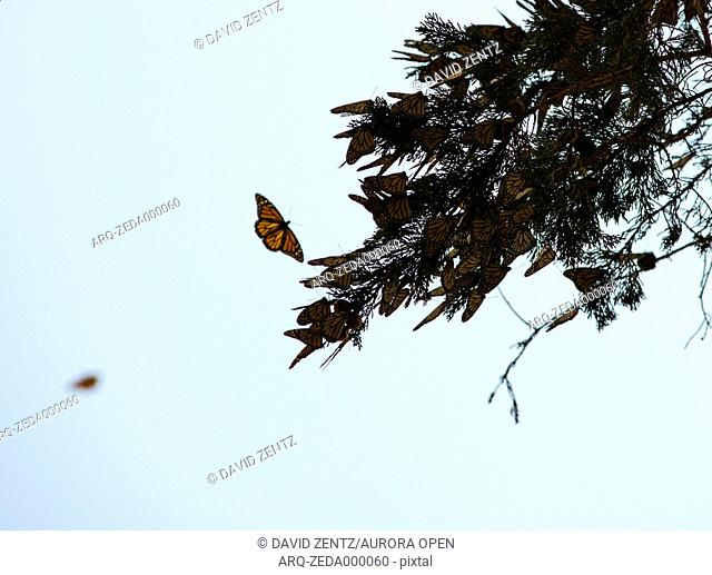 Monarch butterflies gather on a branch at the Pismo Beach Monarch Butterfly Grove in Pismo Beach, Calif., on March 1, 2014