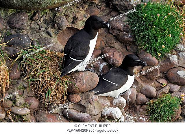 Two razorbills (Alca torda) nesting on rock ledge in cliff face along the North Atlantic coast