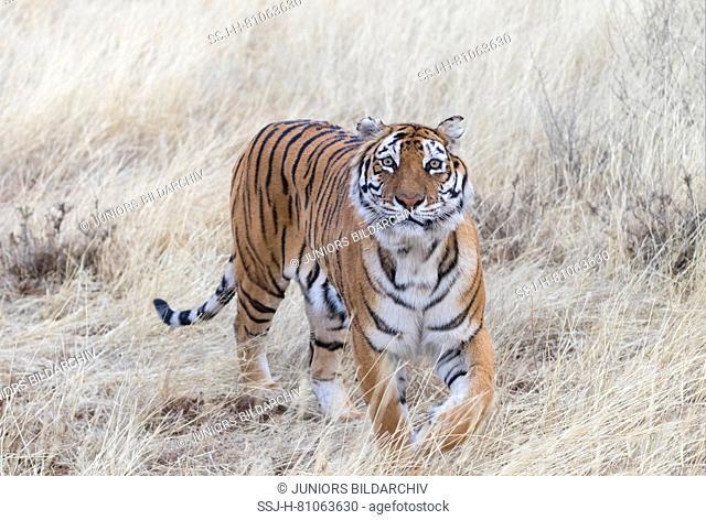 Asian (Bengal) Tiger (Panthera tigris tigris), female walking