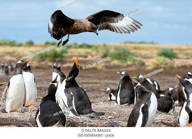 A southern skua (Catharacta antarctica), attacking a Gentoo penguin colony (Pygoscelis papua), Port Stanley, Falkland Islands, South America